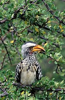 Yellow-billed Hornbill (Tockus flavirostris). Etosha National Park, Namibia