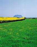 Rape flowers,Seongsan Ilchulbong Peak,Jeju Island,Korea