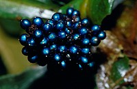 The iridescent blue berry of a rainforest plant, Polia Condesanta.