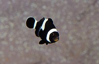 A curious and comical Brown Clown Fish displays it´s white stripes.
