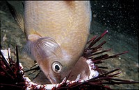 White_eared Fish feeds on a Purple Sea Urchin ball known as a Test.