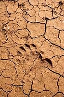Various footprints in cracked mud at Pinecrest Lake, California.