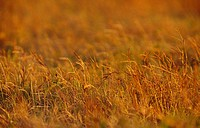 Sunset falls over the dry yellow grasses of a floodplain in drought.