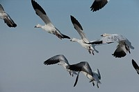 A flock of snow geese in early morning.