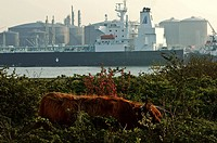 Port of Rotterdam, penninsula of Rozenburg, Calandkanaal, Scottish Highland cows grazing a nature protected area