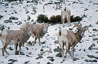 Bighorn sheep graze on snowy slope in Gallatin Range near Big Sky.