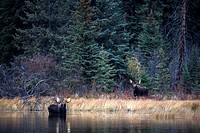 Bull moose in the wild.