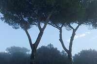 Siena, Tuscany, Italy: Sunrise with tree and fog