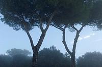 Siena, Tuscany, Italy: Sunrise with tree and fog