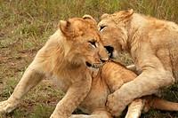 Lions wrestling in Zimbabwe