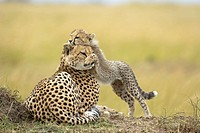 Cheetah with cub on termite mound in the rain. Masai Mara Preserve, Kenya