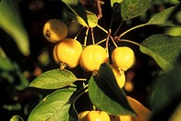 Yellow crabapples on tree