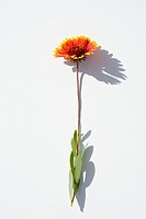 Sunlit flower on white background