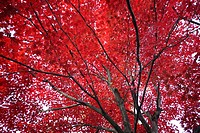Red coloured maple tree in autumn, low angle view
