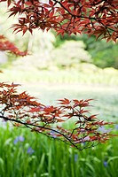 Japanese maple tree in garden, cropped view (thumbnail)