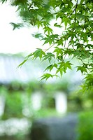 Maple leaves on branch, close-up (thumbnail)