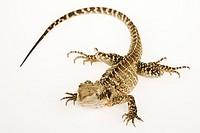 Australian Water Dragon Physignathus lesueurii, white background