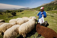 Sheep by royal cattle track near Bustarviejo. Madrid province, Spain