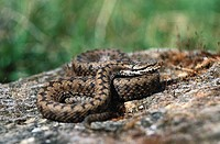 European Asp (Vipera aspis)