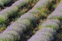Poppies in Lavender field (Papaver rhoeas), (Lavandula vera), Plateau de Vaucluse, Provence, France