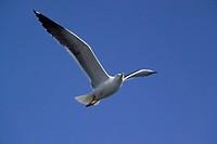 90900281, Lesser Black Backed Gull in flight, Laru