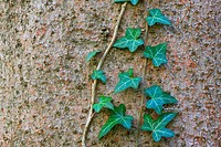 Common Ivy (Hedera helix) growing along treetrunk, Switzerland