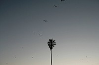 View of birds flying over a palm tree.