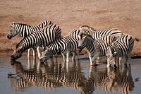 Zebras at waterhole, Etosha National Park. Namibia