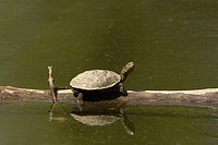 Spanish Pond Turtle (Mauremys leprosa) sunbathing