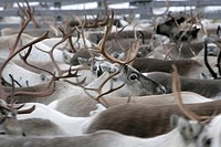 Reindeer round_up in Inari, Finnish Lapland.
