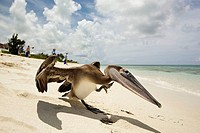 Brown pelican on beach on Grace Bay beach area  Provodenciales, Turks and Caicos