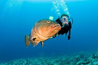 Diver and Nassau grouper Epinephelus striatus off Grand Turk Island in the Turks and Caicos