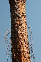 Pine tree, Parana, Brazil