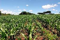 Corn field, Farropilha, Rio Grande do Sul, Brazil