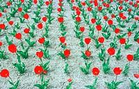 Tulips, Flowers, São Paulo, Brazil.
