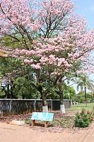Ipê Rosa, Flower, São Paulo, Brazil