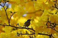 Ypê Yellow, Bird, Brooklin, São Paulo, Brazil