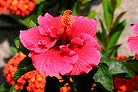 Flower Rose, Hibisco, São Paulo, Brazil