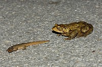 Common toad, European common toad, Bufo bufo