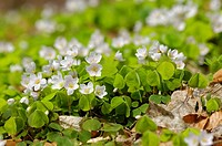 Common wood sorrel, Oxalis acetosella