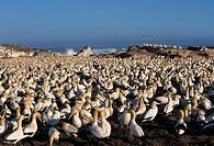 Cape Gannet, Sula capensis