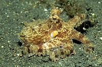 Octopus, Octopus sp.