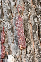Sausages drying on a tree