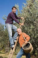 Men picking olives