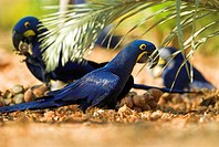 Green_winged Macaw, Hyacinth macaw, Ara chloroptera