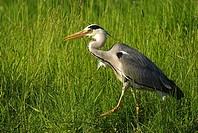 Grey Heron, Ardea cinerea