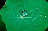 Drop of water on leaf, Tropaeolum majus