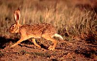 Cape Hare, Free State Province, South Africa, Lepus capensis
