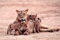 African Lioness with cubs, Kalahari Gemsbok Park, South Africa, Panthera leo, cub, freistellbar
