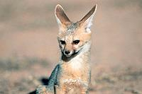 Cape Fox, Kalahari Gemsbok Park, South Africa, Vulpes chama